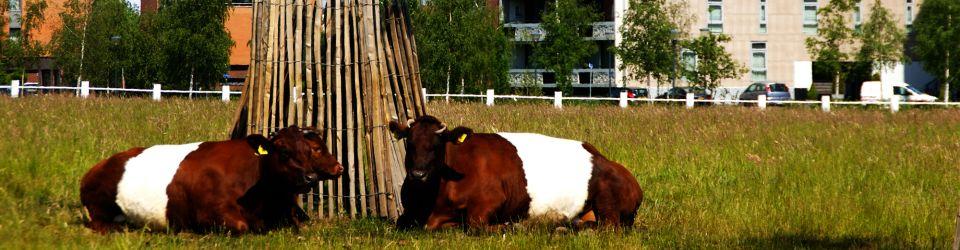 meerland-runderen-crop